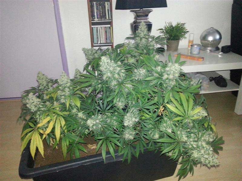 Documentaire culture cannabis interieur 28 images jdc for Culture en interieur